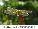 dragonfly on a green background. | Shutterstock . vector #1300543861