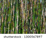horsetail reed bamboo a thin... | Shutterstock . vector #1300567897