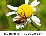 Long Horned Beetle On Ox Eye...