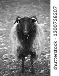 Small photo of Black sheep in black and white