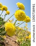 Giant Ranunculus Yellow Flower...