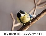 great tit sitting on branch of... | Shutterstock . vector #1300794454