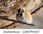 eurasian tree sparrow sitting... | Shutterstock . vector #1300794457