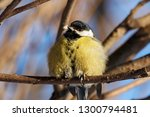 great tit sitting on branch of... | Shutterstock . vector #1300794481