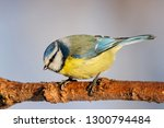 blue tit sitting on branch of... | Shutterstock . vector #1300794484