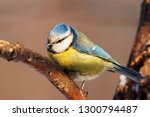 blue tit sitting on branch of... | Shutterstock . vector #1300794487