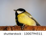 great tit sitting on branch of... | Shutterstock . vector #1300794511