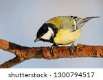 great tit sitting on branch of... | Shutterstock . vector #1300794517