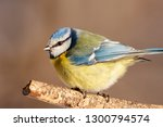 blue tit sitting on branch of... | Shutterstock . vector #1300794574