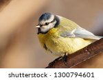 blue tit sitting on branch of... | Shutterstock . vector #1300794601