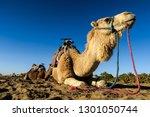 camel in the desert  photo as... | Shutterstock . vector #1301050744