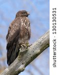 common buzzard on a branch | Shutterstock . vector #130130531