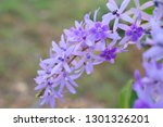 purple flower bunches tend to...   Shutterstock . vector #1301326201