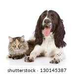 Stock photo english cocker spaniel dog and cat together isolated on white background 130145387
