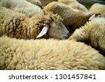sheep eats green bush in the... | Shutterstock . vector #1301457841