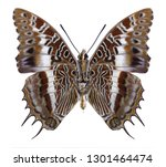butterfly charaxes brutus ... | Shutterstock . vector #1301464474