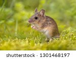 Wood Mouse Standing Straight ...
