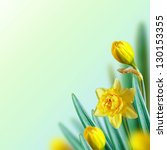 Beautiful narcissus flowers on a blue. Floral background. - stock photo