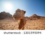 funny camel is smiling.... | Shutterstock . vector #1301595094