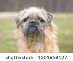 A Brussels Griffon Pug Mixed...