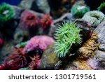anthopleura xanthogrammica ... | Shutterstock . vector #1301719561