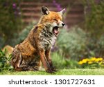 Close Up Of A Red Fox Yawning ...