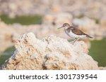 common sandpiper actitis... | Shutterstock . vector #1301739544