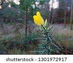 Beautiful Yellow  Wild Gorse...