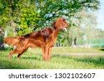 Dog Breed Irish Setter Stands...