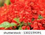 Closeup At Beautiful Red Salvi...