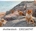 Red Cats On Sea Beach In Japan...