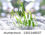 snowdrops in the snow  spring... | Shutterstock . vector #1302168037