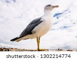 Seagull Portrait. Closeup Half...