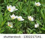 snowdrop anemone  anemone... | Shutterstock . vector #1302217141