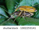 long snouted yellow weevils | Shutterstock . vector #1302253141