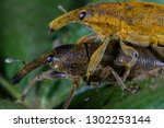 long snouted yellow weevils | Shutterstock . vector #1302253144