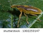 long snouted yellow weevils | Shutterstock . vector #1302253147