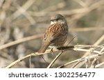 a pretty hedge sparrow ... | Shutterstock . vector #1302256477