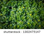 marigold field  yellow flowers.... | Shutterstock . vector #1302475147