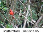 red male northern cardinal... | Shutterstock . vector #1302546427