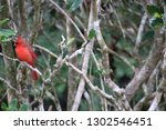 red male northern cardinal... | Shutterstock . vector #1302546451