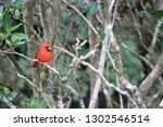 red male northern cardinal... | Shutterstock . vector #1302546514