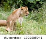 natural behaviour of young... | Shutterstock . vector #1302605041