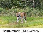 endangered amur tiger species... | Shutterstock . vector #1302605047