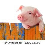 Stock photo funny pig hanging on a fence studio photo isolated on white background 130263197