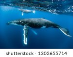 a humpback whale mum and calf... | Shutterstock . vector #1302655714