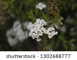 white flowers on the bush.... | Shutterstock . vector #1302688777