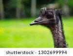 close up of australian emu ... | Shutterstock . vector #1302699994