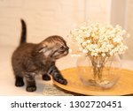 Stock photo scottish fold kitten young dark dray kitten sitting with white flowers a glass vase and a wooden 1302720451