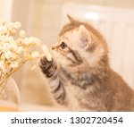 Stock photo scottish fold kitten young dray kitten sitting with white flowers a glass vase close up 1302720454
